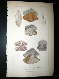 Cuvier C1835 Antique Hand Col Print. Shells #35A